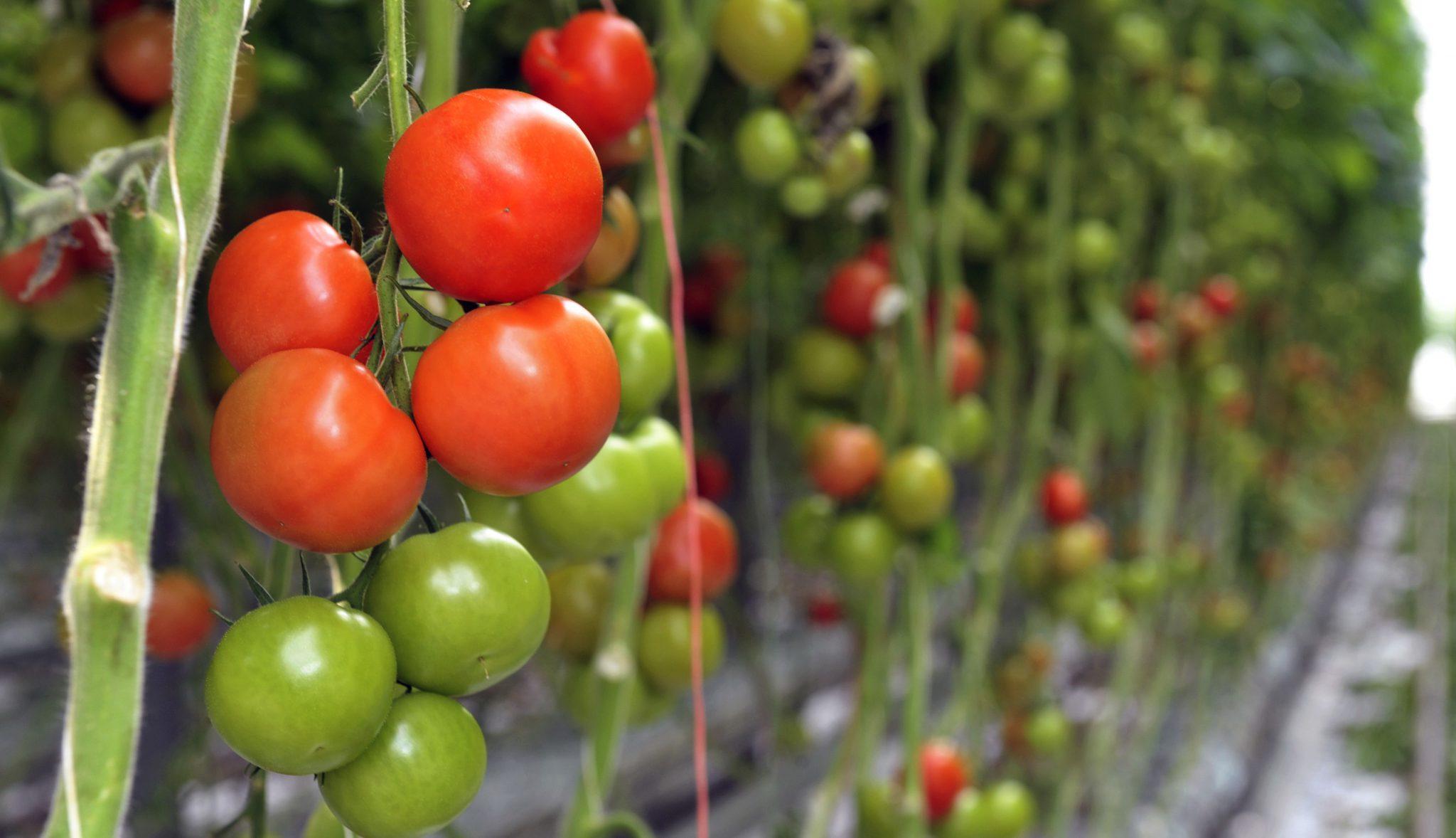 verse tomaten, groente en fruit, Sander Kanters, Schijndel
